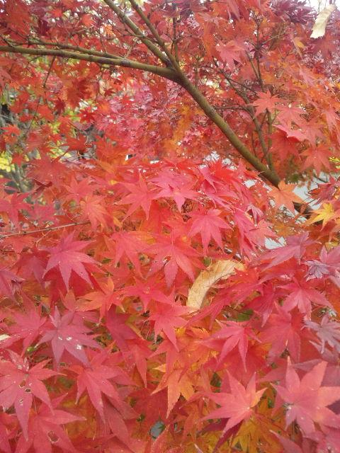 今日の紅葉