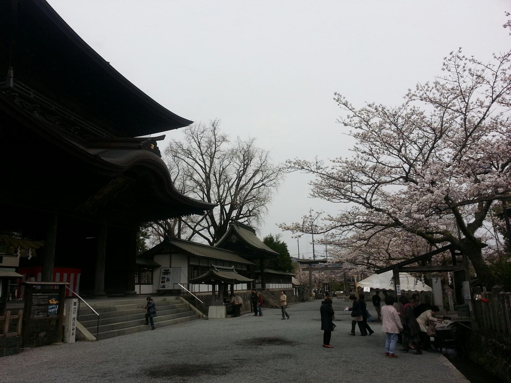 阿蘇神社桜情報