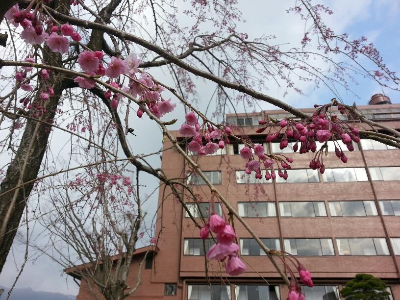 ホテルの垂れ桜